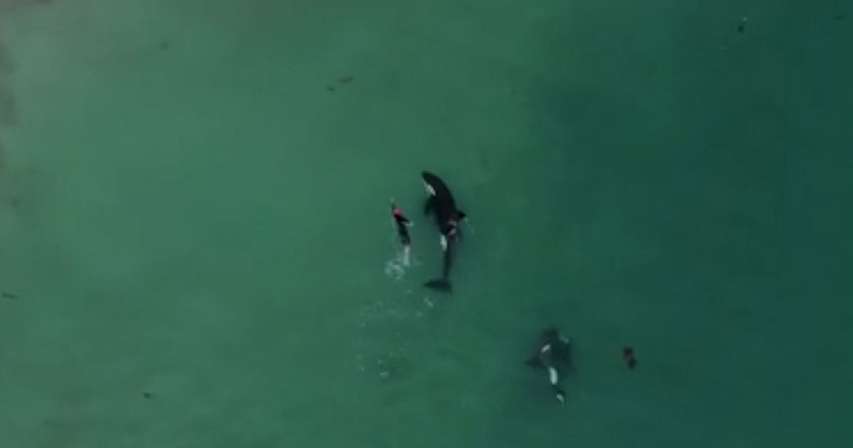 Orca filmed playing with human Credit: Dylan Brayshaw