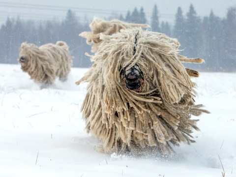 These dogs look like real-life mops