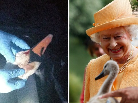 Family of swans shot dead 'because they belong to the Queen'