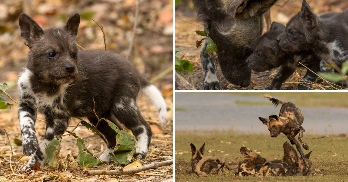 Dynasties director 'vomited after seeing painted wolf pup eaten by crocodile' as David Attenborough's latest instalment cuts deep