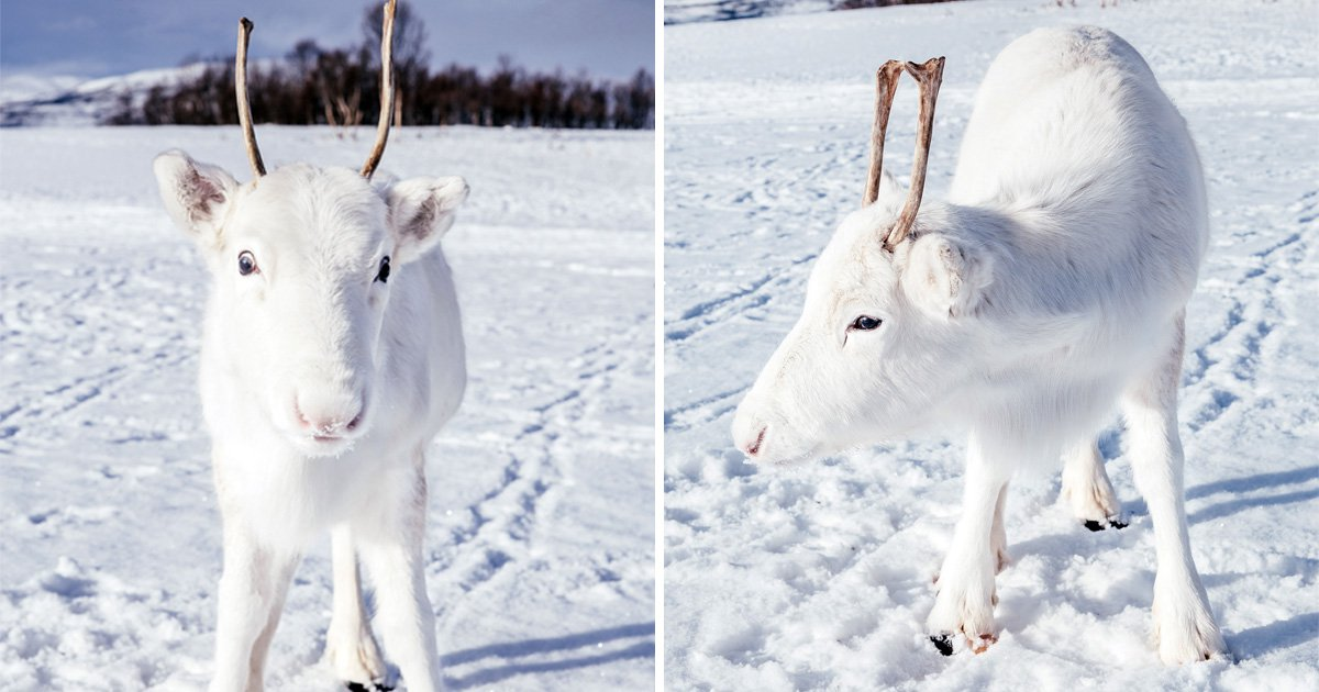 A rare white baby reindeer was caught on camera in Norway