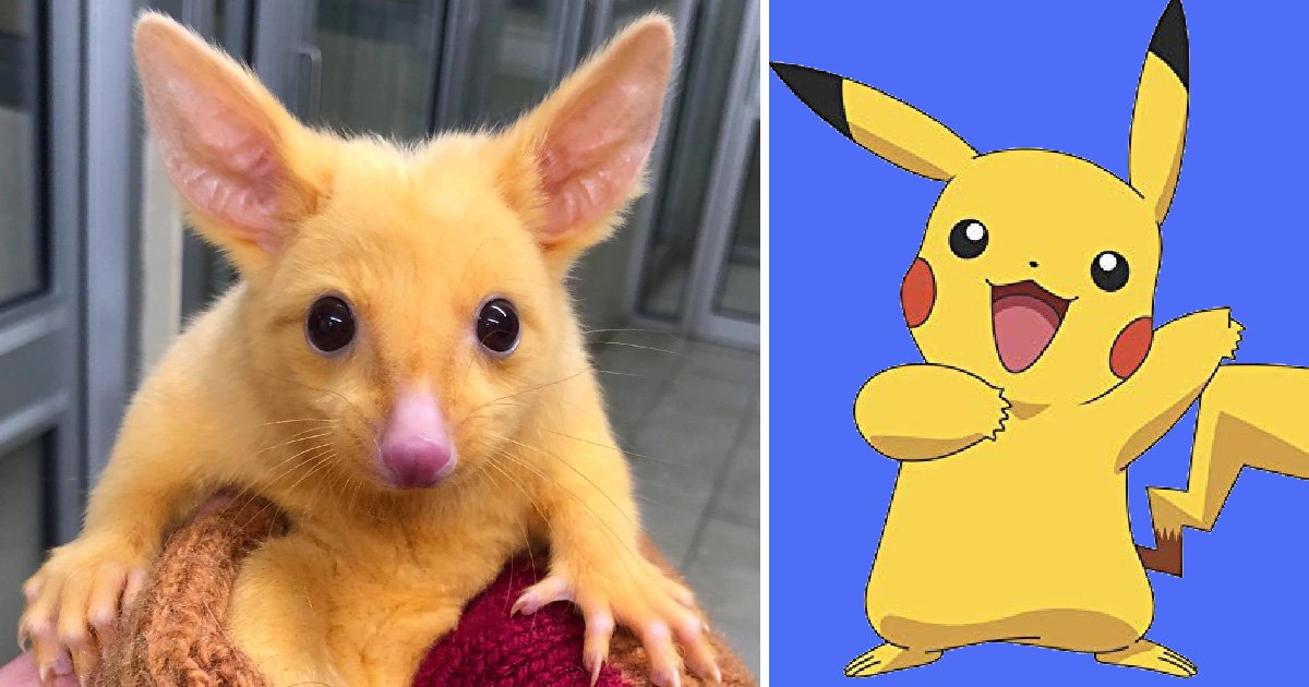 Amazingly rare mutated gold possum dubbed 'real-life Pikachu'