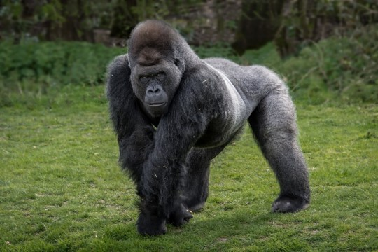 Portrait of a silver back gorilla standing in the typical pose on legs and hands
