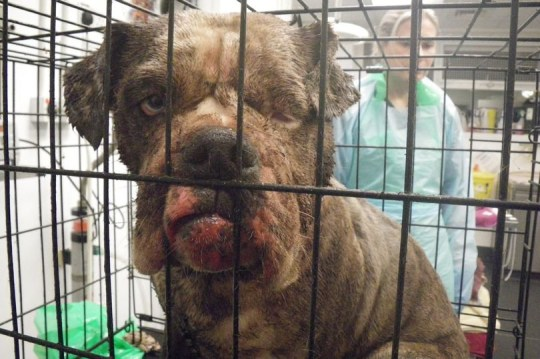 An abandoned pregnant dog rescued from a London alleyway by the RSPCA was covered in so much of her own faeces that the animal charity couldn't tell what colour she was. The RSPCA officer who found the dog - who has since been named Florence - found her with a closed eye and a cut to the side of her face. Caption: Florence the dog was covered in her own excrement when she was discovered - to such an extent the RSPCA could not tell what colour she was