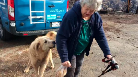 """In this Friday Dec. 7, 2018 image from video provided by Shayla Sullivan, """"Madison,"""" the Anatolian shepherd dog that apparently guarded his burned home for nearly a month, greets his owner, Andrea Gaylord, as she was allowed back to check on her burned property in Paradise, Calif. Sullivan, an animal rescuer, left food and water for Madison during his wait. Gaylord fled when the Nov. 8 fire destroyed the town of 27,000. (Shayla Sullivan via AP)"""