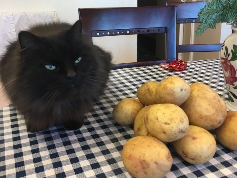Oliver the carb-loving cat keeps stowing away on a potato harvest tractor
