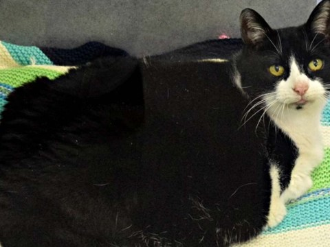 Fat cat Dina is looking for a loving home where she'll be helped to shed some excess weight
