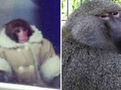 Ikea monkey has formed a bond with a baboon called Pierre
