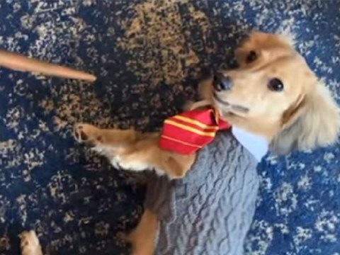 Remus the puppy only responds to Harry Potter spells in adorable video