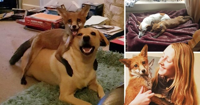 Student Has Her Very Own Fox And Hound Who Are The Best Of Friends Metro News