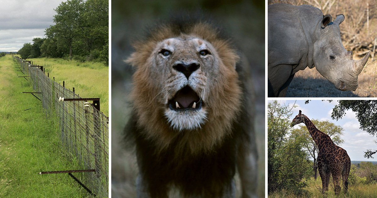 Rhino, giraffe and two lions killed after being electrocuted by downed power cable