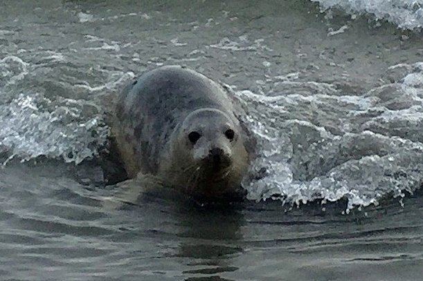Seal pup Bran being released back into the wild after months of recuperation on an isolated beach in Northern Ireland. PRESS ASSOCIATION Photo. Picture date: Sunday January 6, 2019. Grey seals Bran and Thor were given an emotional send off on Sunday morning at the tranquil Knockinelder bay at the tip of Co Down's Ards Peninsula. See PA story ULSTER Seals. Photo credit should read: David Young /PA Wire