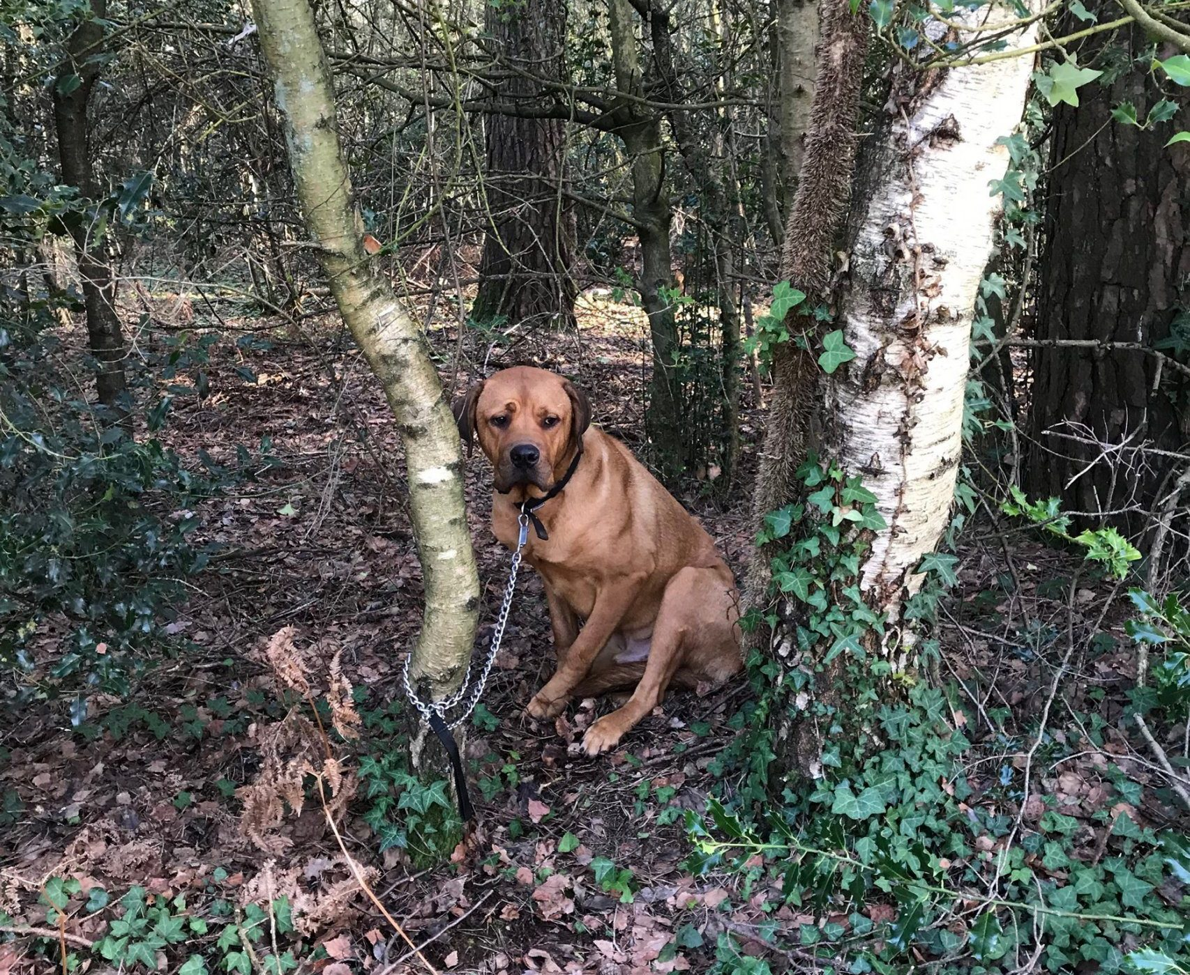 Dog abandoned and tied to tree 50 metres from animal shelter