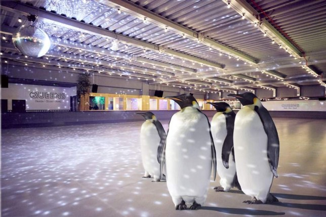Skate with real penguins
