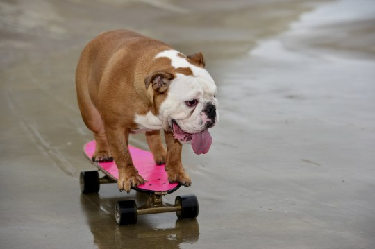 "Dog lover Debra Chandler, 33 from Ashby-de-la-Zouch has a 14-month-old British bulldog named Pumpkin, who has been honing her skills on a skateboard since she was a pup. See SWNS story SWMDdog. A talented pet bulldog has become an internet sensation after videos of her SKATEBOARDING attracted thousands of views online. Owner Debra Chandler, 33, says her beloved pooch Pumpkin has proved to be a ""complete natural"" at the action sport since taking it up as a puppy. The 14-month-old dog has self-taught itself how to skateboard and enjoys nothing more than scooting around the streets much to the astonishment of onlookers. Debra began filming videos and taking pictures of Pumpkin riding around near her home in Ashby-de-la-Zouch, Leics., and posted them on social media. Since then, Pumpkin has become an online hit with videos of her in action being viewed thousands of times."