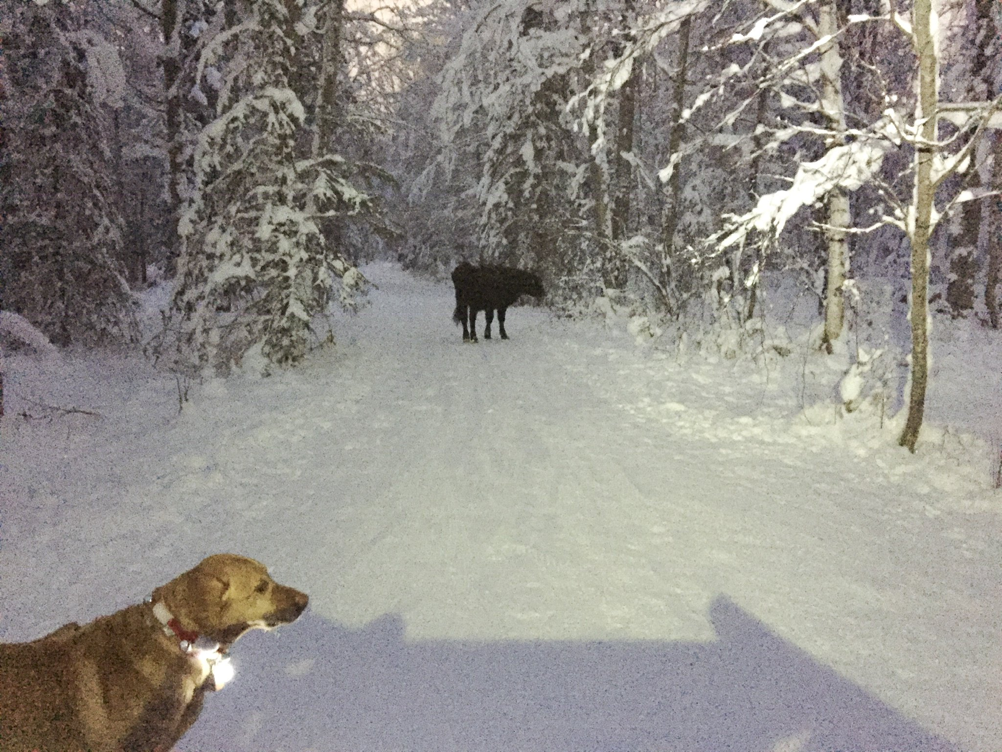 """In this Dec. 26, 2018 photo provided by Meg Kurtagh shows a cow in the middle of on the east side of Anchorage. A rodeo cow named Betsy has evaded capture for six months as she wanders the trails of Alaska's biggest city, the cow's owner said. The 3-year-old cow """"busted out"""" of a pen before participating in junior events at the Father's Day Rodeo in Anchorage, rodeo promoter Frank Koloski told the Anchorage Daily News . Betsy headed to the Hilltop Ski Area and was spotted grazing on slopes during the summer, Koloski said. She then moved to the network of trails that crisscross the Anchorage Hillside when snow fell. (Meg Kurtagh via AP)"""