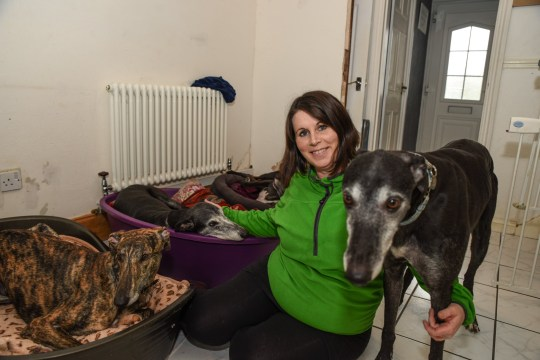 Pic by Michael Scott/Caters News - (PICTURED: Kerry Elliman, 40 from Marston Green, Birmingham, with some of her rescued greyhounds that were saved from the Chinese meat and illegal racing market. Pic taken: 21/01/2019) - An animal lover has rescued more than 300 dogs from Chinese meat markets and brought them back to the UK but said the pooches she couldnt save still haunt her. Charity worker Kerry Elliman, 40, began saving dogs from the hellish horrors of the Chinese dog meat industry in 2017 in addition to her work in the UK saving racing greyhounds. SEE CATERS COPY