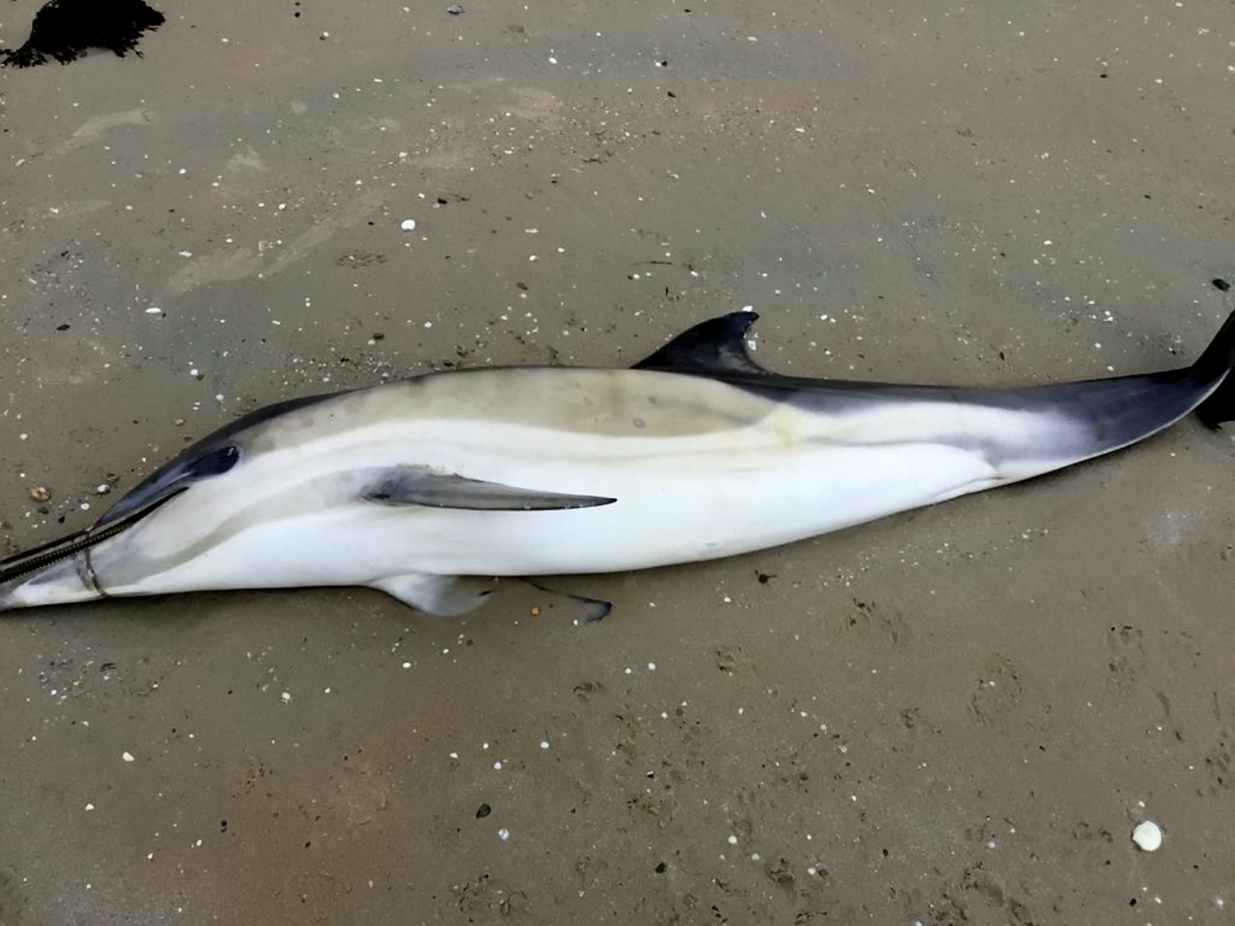 The shocking image of a dolphin washed up behind the Royal Channel Islands Yacht Club with plastic waste wrapped around its beak. Jersey, Channel Islands.See SWNS story SWPLdolphin.This shocking picture shows a dolphin that washed up on a British beach with plastic waste wrapped around its beak.The animal was found by Sandra Hilton who took this image before reporting the find to the relevant authorities.But officers from Jersey's States? Fisheries and Marine Resources Department have not been able to located the dolphin.They said the dolphin, which looked 'emaciated' was tagged - and have now urged islanders to keep a lookout.