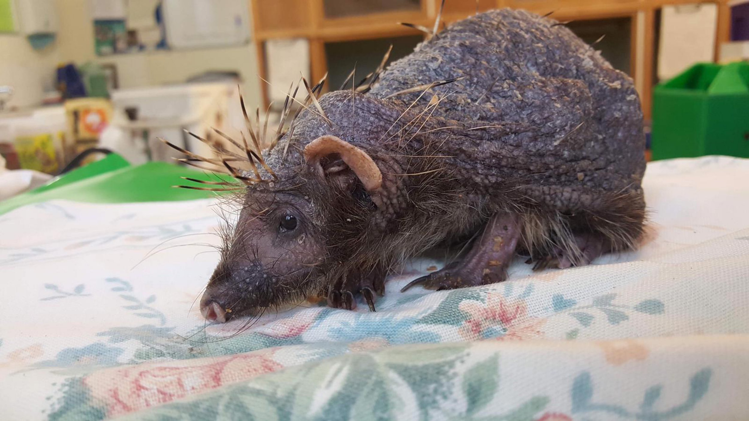 """Meet Bear - the adorable bald hedgehog who now receives daily massages to help him regrow his spines. Bear was rescued by a concerned member of the public who took him to Cuan Wildlife Rescue Centre in Much Wenlock, Shropshire. Staff quickly determined the unusual looking creature was a bald hedgehog who had lost his spines. They believe he woke up early from hibernation with an ear mite infection, which caused his needles to fall out due to stress. Luckily for Bear, the hapless hedgehog is now receiving around the clock care including daily massages with an ointment made from Aloe Vera. It is hoped his treatments will encourage blood circulation in the skin to promote growth in the spines. They also help to relax Bear and relieve his stress. Fran Hill, the manager of the rescue center, said: """" It s likely he went into hibernation with a small infestation of ear mites, irritating little blighters. During his slumber they had covered him, causing massive irritation to his skin. Along with the dehydration and massive weight loss, while sleeping, the mites had taken hold. They were running over him on admission. He was given a bath to soothe his skin and wash away the mites. Then a good skin massage with aloe gel. He will have to have worming treatments which will help with weight gain too. His spines should grow back but it will take time. I m hoping in around two months he will be looking much better and will be on the way to being released. This is the best gift we could give him. Even though he is quite weak, he is still quite huffy! If you want to pick him up, he will take one look at you and curl so tight! A problem when one of his meds is oral! He s happy for us to watch him and almost pose but no touching."""". 23 Jan 2019 Pictured: Bear the bald hedgehog. Photo credit: Cuan Wildlife / MEGA TheMegaAgency.com +1 888 505 6342"""