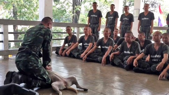 VIDEOS STILLS - ??????This is the adorable moment a loyal pet dog lied down on her back pretending to be unconscious ??? for a soldier to demonstrate CPR. Sergeant Khun Kittisak brought his three-year-old female Aspin dog named Cream to work to be a manikin for the life-saving demonstration at Royal Thai Army School, Bangkok, Thailand on December 28. Kittisak set his patient up in the proper position and simulated pumping her chest 30 times ??? even bending down and putting his lips close to hers to to show how mouth-to-mouth resuscitation should be performed. Students looked on intently as they watched their boss and his loyal dog co-operating perfectly for the demonstration.
