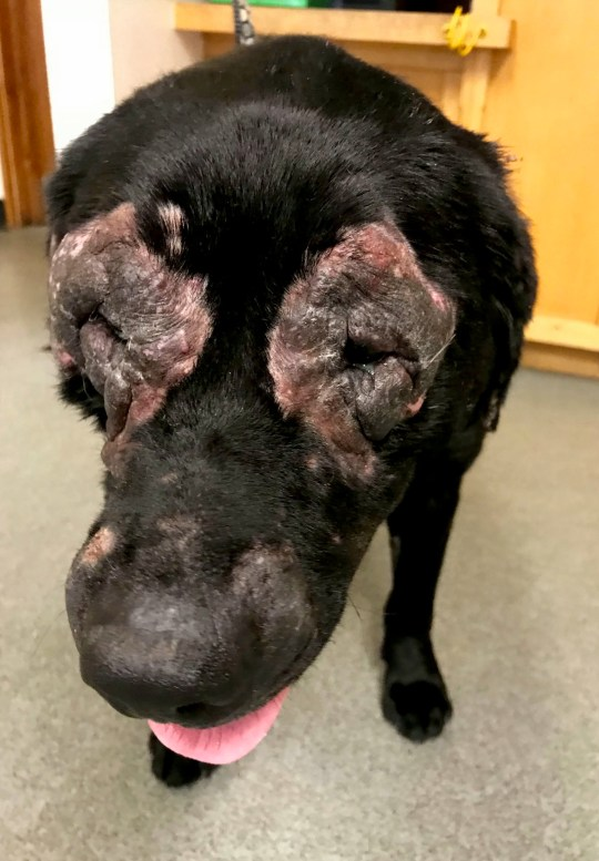 A woman has appeared in court after her dog was left with an horrendous untreated skin condition which left her eyes badly irritated for months. See SWNS story SWMDdog. An RSPCA inspector, who investigated the incident, said it was one of the most upsetting cases she has had to deal with because the black labrador, called Abbie, would have been in constant pain and barely able to see. Lisa Stephanie Crossley (DOB 14/03/1973) of Cherry Tree Drive, Oswestry, in Shropshire, pleaded guilty to an animal welfare offence of failing to seek veterinary care for her four-year-old dog when she appeared before Telford Magistrates??? Court on Friday (18). The court heard how the RSPCA was called to investigate the condition of the dog following a report by a concerned member of the public. The animal welfare charity rushed Abbie to a vet where she was found to have an untreated skin condition which had resulted in thickened, inflamed and infected skin around her face. It had thickened to the point of being grey and solid, known as elephantine skin. This condition had also caused an extremely uncomfortable condition called entropion which was affecting the dog???s eyes. In these cases the eyelids fold inwards and the eyelashes continuously rub against the cornea causing constant irritation. Abbie was left in that state between April 18 and July 1, 2018 while Crossley failed to get her the veterinary attention she needed. Sadly vets found her to be suffering to such an extent they felt the kindest option was to put her to sleep.