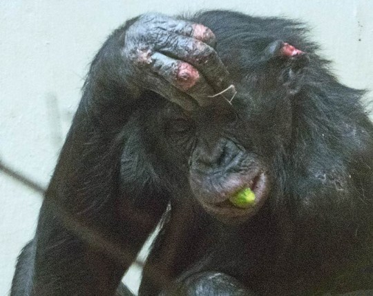 Heartbreaking pictures of British chimp being bullied in