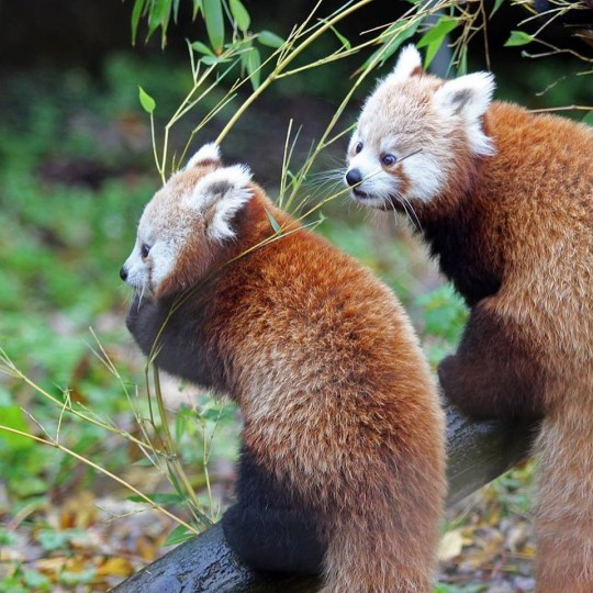 WE ARE CELEBRATING THE BIRTH OF ENDANGERED RED PANDA CUBS! The pair were born to parents, Chris and Vixen on 19 June 2018. Red panda cubs are born blind and develop quite slowly. They therefore spend the first few months in the den. It is for this reason that, despite being born back in June, the twins have only recently started to venture outside. Red panda are native to the Himalayas in Bhutan, Southern China, Pakistan, India, Laos, Nepal and Burma. However, red panda numbers are declining dramatically due to habitat loss and illegal hunting for their fur, in particular their long bushy tail which is highly prized as a good luck charm for Chinese newlyweds. The International Union for the Conservation of Nature believes that the red panda is facing a very high risk of extinction.