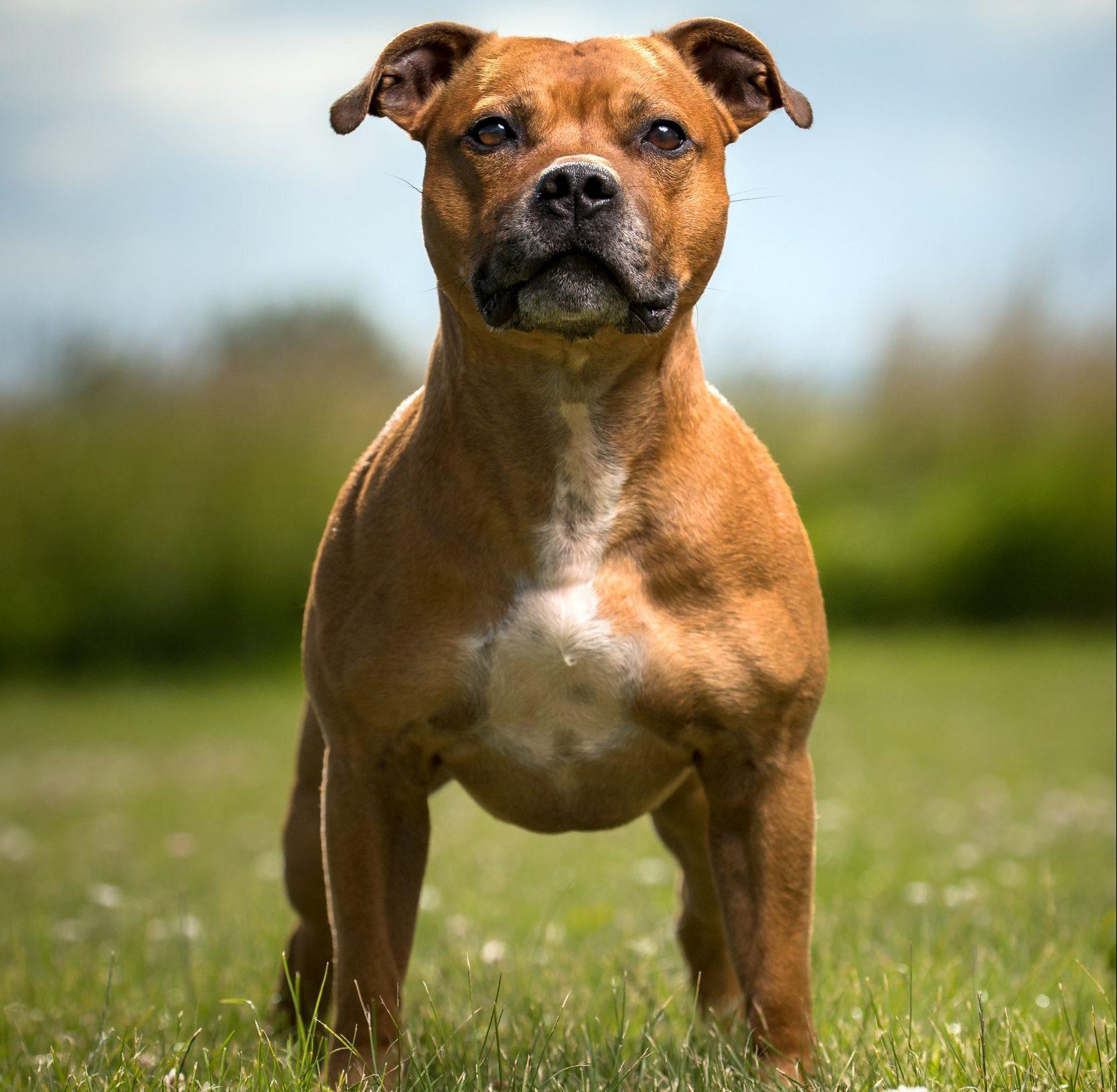 Staffordshire Bull Terrier.; Shutterstock ID 782056438; Purchase Order: -