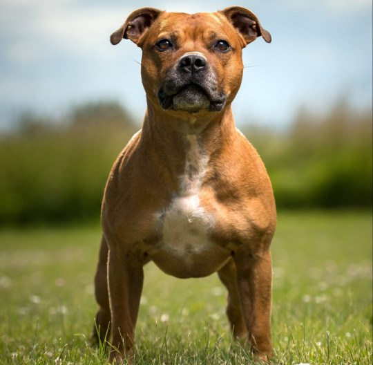Staffordshire Bull Terrier.; Shutterstock ID 782056438; Purchase Order: -