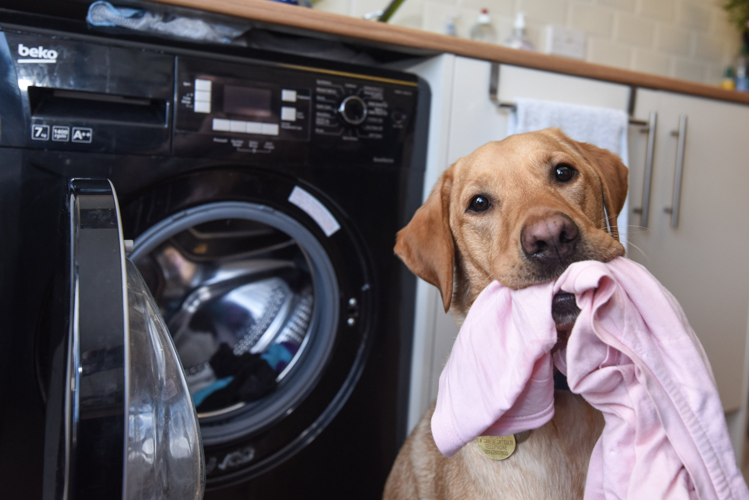 Good dog Kevin has been trained to do laundry to help out his owner