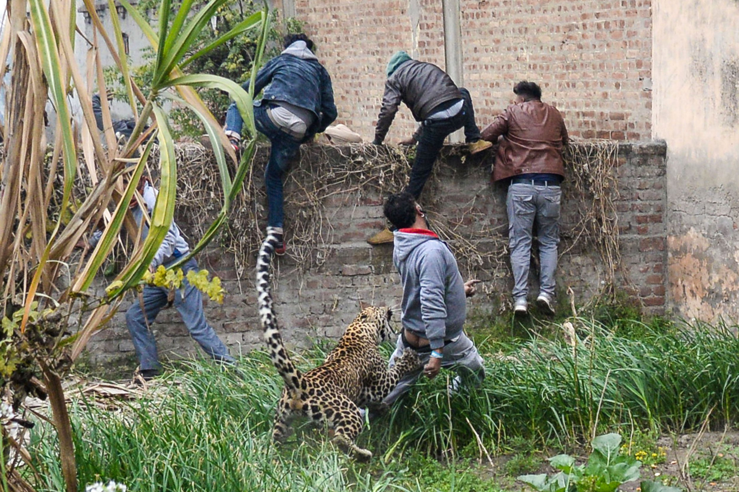 A leopard attacks an Indian man as others climb a wall to get away from the animal in Lamba Pind area in Jalandhar on January 31, 2019. - After a leopard was spotted in a house in Lamba Pind area of Jalandhar city, subsequent attempts to capture it led to the animal attacking at least six people, though none was injured seriously, local media said. (Photo by SHAMMI MEHRA / AFP)SHAMMI MEHRA/AFP/Getty Images