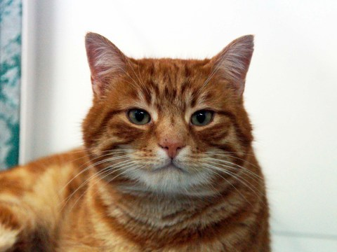 Missing cat Thomas is reunited with his owner in time for Kiss a Ginger Day