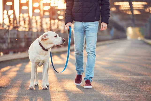 Young Man Walking With Labrador Retriever On Bridge