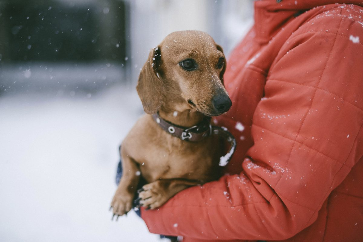 sausage dog is carried in snow by woman wearing puffa jacket