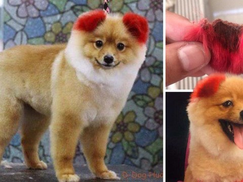 Dog's ears fell off after owner dyed them bright red
