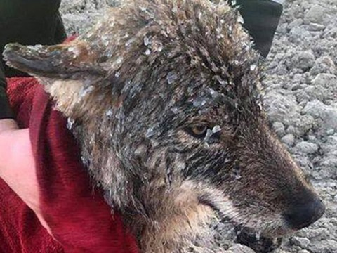 'Dog' rescued by builders from frozen lake turns out to be a wild wolf