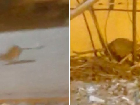 Family of rats filmed outside McDonald's – but man who filmed it says he'll still eat there