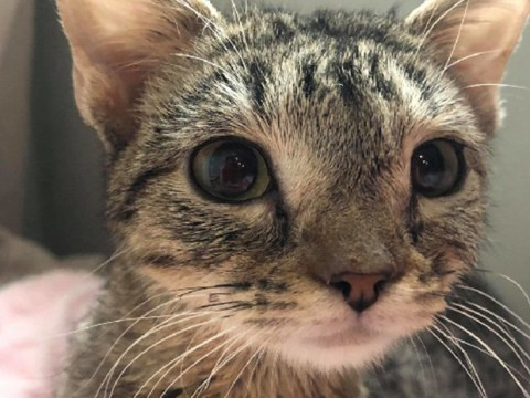 Tiny kitten that won't grow finds a loving home after being rescued from a hoarding situation