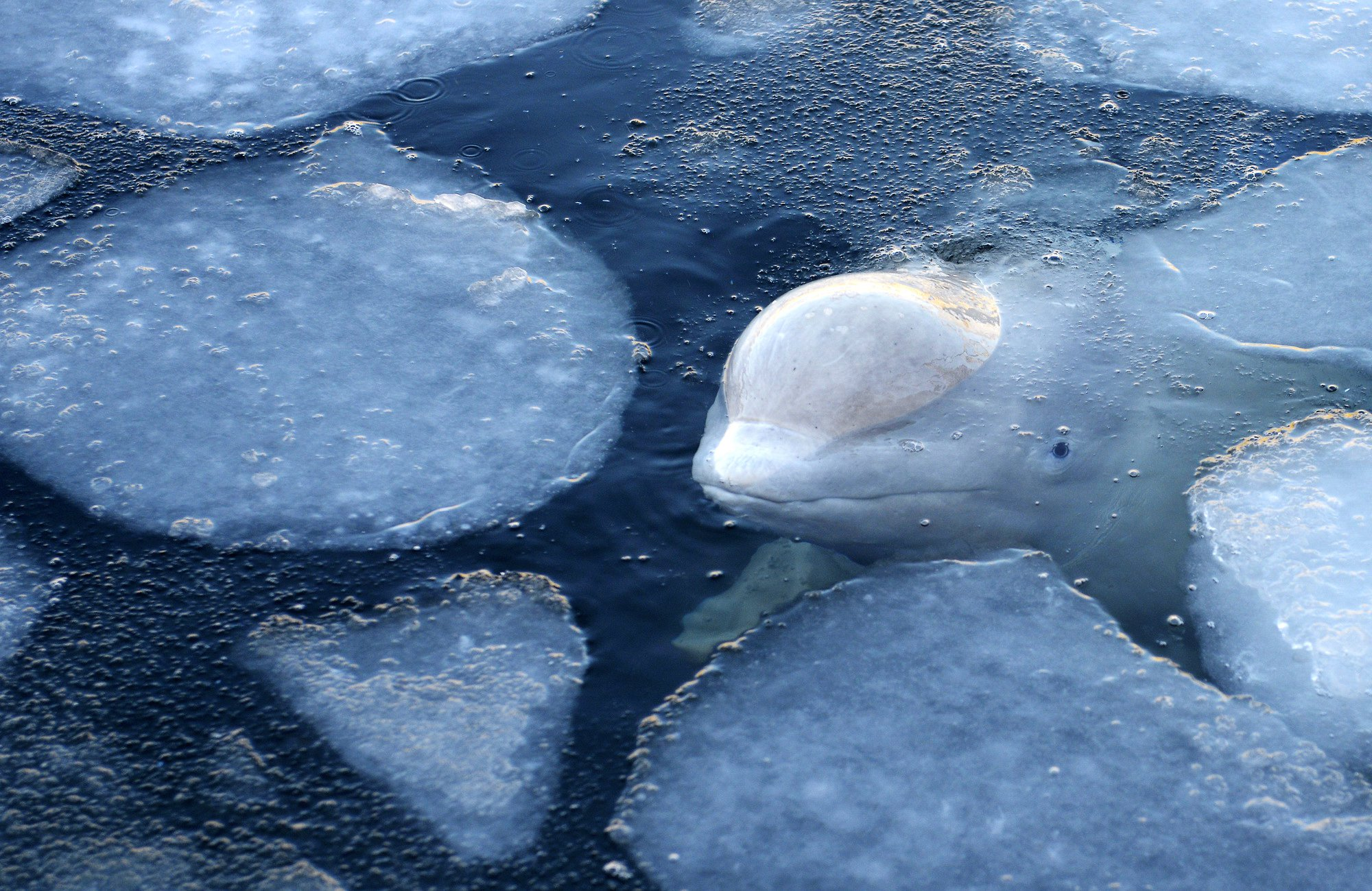 """In this handout photo taken on Friday, Jan. 18, 2019 and released by Free Russian Whales, a whale is seen in the marine containment facility in Srednyaya Bay near Vladivostok, which has been investigated by Russian prosecutors who have already called the capture illegal. Animal rights activists are expressing alarm about more than 100 whales that are being kept in small, crowded pools in what environmentalists are calling a """"whale prison,"""" off the coast of the Russian Far East. (Free Russian Whales via AP)"""