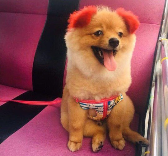 NEWS COPY - WITH PICTURES A dog owner has been slammed after she tried to dye her pet's ears bright red - and one of them dropped off. The Pomeranian named 'Diffy' was taken to a grooming salon in Hua Hin, eastern Thailand, earlier this week where the woman asked for the pooch's ears and tail to be coloured. Workers carried out a 'foil wrap' dye on Diffy's soft blonde fur and after 45 minutes he emerged with a bright red tail and ears, that were also drooping instead of standing pertly. Despite being reassured that Diffy's ears would perk up ''after a few hours'', they started burning up after a suspected allergic reaction to the chemicals in the dye. Within hours Diffy had started suffering itchy skin which later started flaking. The owner, who did not reveal her real name, posted online asking for help - but was hit with an angry backlash for being ''irresponsible''.