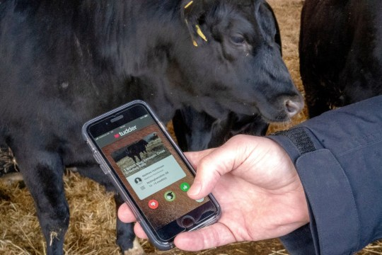 A Tinder-inspired app called Tudder, which helps farmers match up potential partners for their cattle, is demonstrated at a farm in Hampshire, Britain February 12, 2019. Picture taken February 12, 2019. REUTERS/Matthew Stock