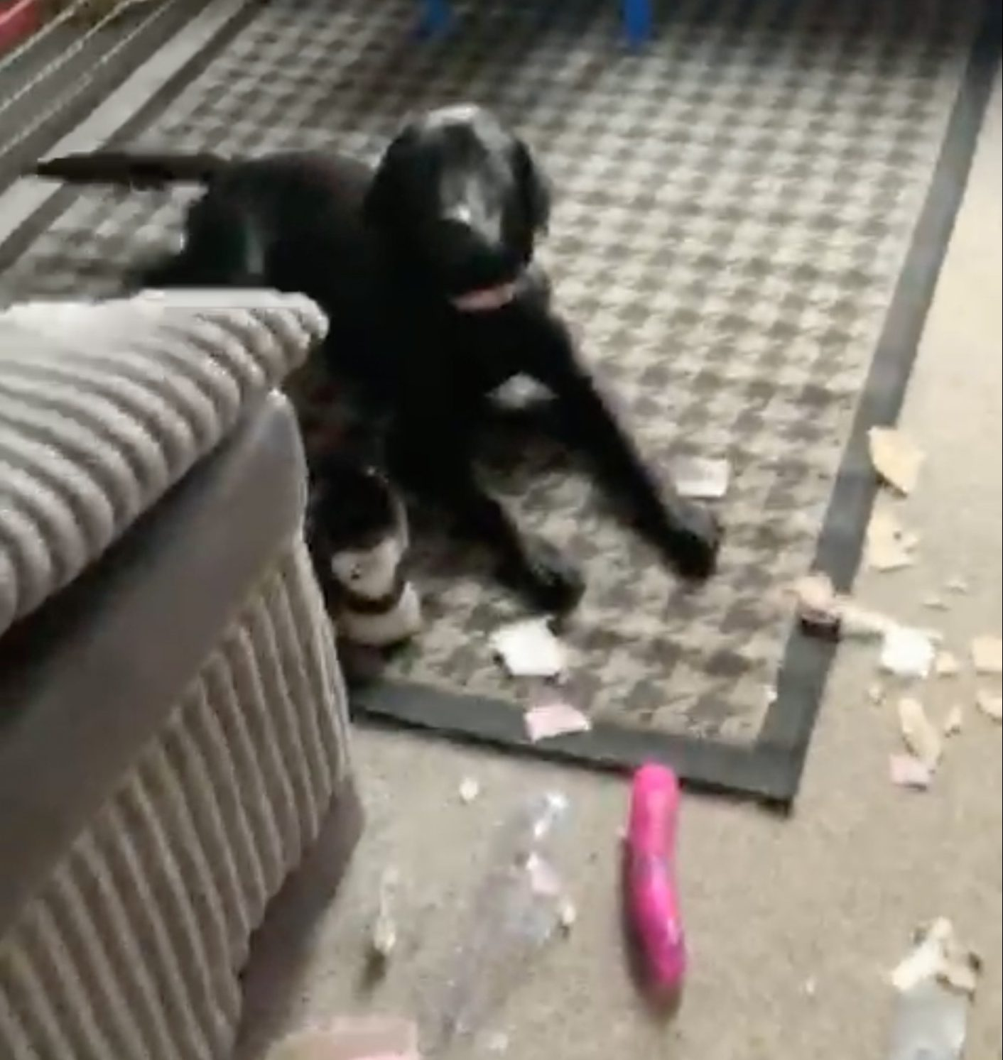 MERCURY PRESS. 15/02/19. Pictured: A screengrab from a video showing the Labrador pup Bonnie next to the parcel she had ripped open. A couple were left red-faced after their dog ripped open a parcel meant for a neighbour and discovered a six-inch SEX TOY. Lee Edwards, 36, and partner Jenna Crozier, 34, took the parcel in for a neighbour and thought it was safe tucked behind the door. But the pair were stunned when they discovered their black Labrador pup Bonnie had ripped the parcel open and had been playing with a big pink dildo. SEE MERCURY COPY