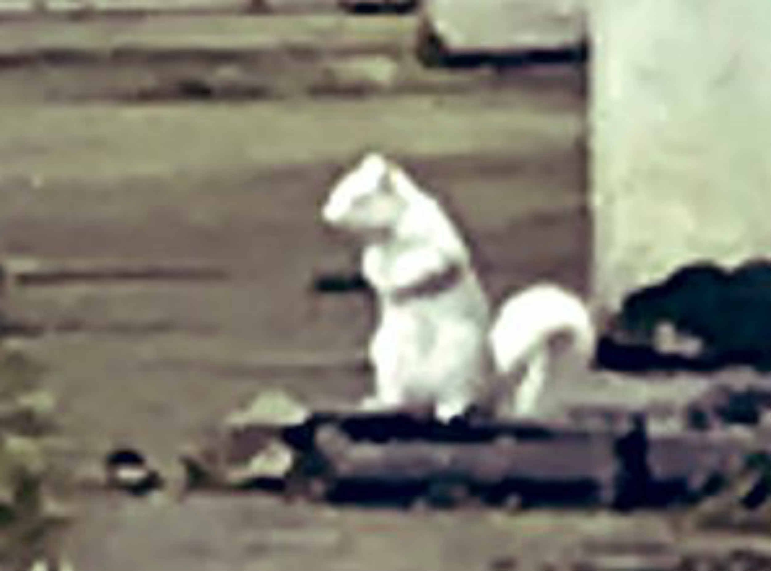 Super rare white albino squirrel spotted in UK city centre