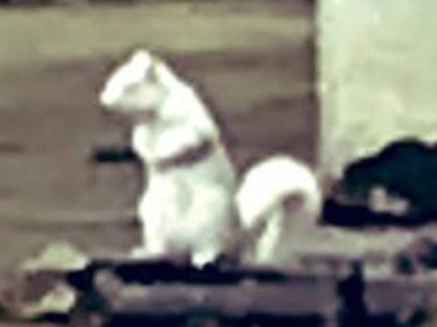 Super rare white albino squirrel spotted in UK city centre