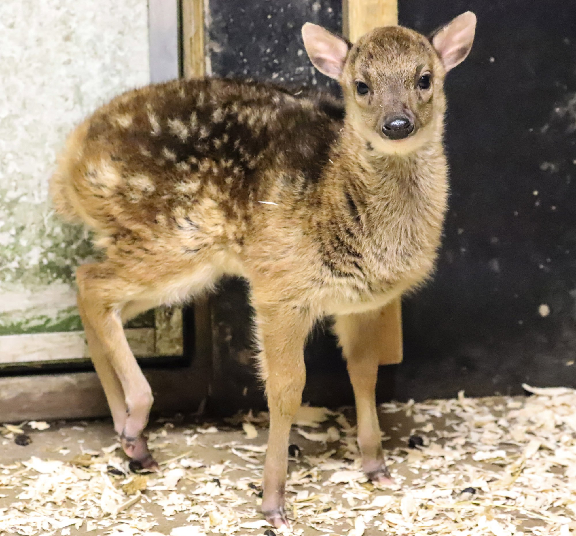 """PIC: APEX 18/02/2019 One of the rarest species of deer in the world has been born at a British zoo. The Philippine spotted deer was born at Newquay Zoo in Cornwall and is hailed as another breeding success for the Cornish charity zoo and the first of this species to be born anywhere in the UK this year.?? This is one of the rarest deer species in the world, classified as Endangered by the International Union for Conservation of Nature. It???s thought that fewer than 2,500 are left in the wild, due to illegal hunting and deforestation.?? The Philippine spotted deer, also known as Prince Alfred???s deer or Visayan spotted deer, was born on January 10th. Keeper Tracey Twomey said: ???With the Philippine spotted deer being one of the most globally threatened deer species, each birth is extremely important for the conservation of the species. """"Mother and baby are doing very well, both are strong and healthy. """"We look forward to seeing this little one grow up and hopefully have little ones of her own.??? SEE STORY BY APEX NEWS - 01392 823144 ---------------------------------------------------- APEX NEWS AND PICTURES NEWS DESK: 01392 823144 PICTURE DESK: 01392 823145"""