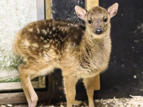 One of the rarest species of deer in the world born at Newquay Zoo