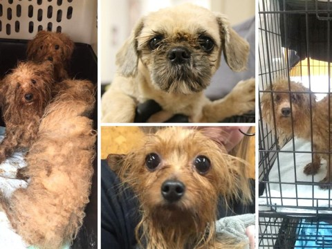 More than 700 dogs found 'matted and coated in faeces' in 'extreme puppy mill case'