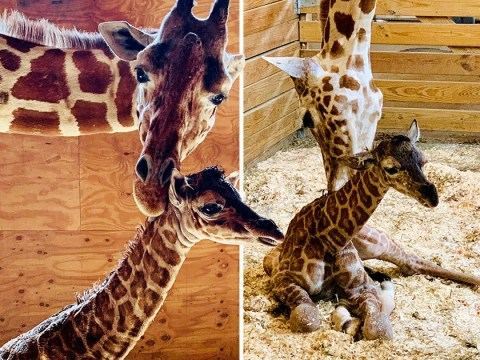 April the giraffe has finally given birth