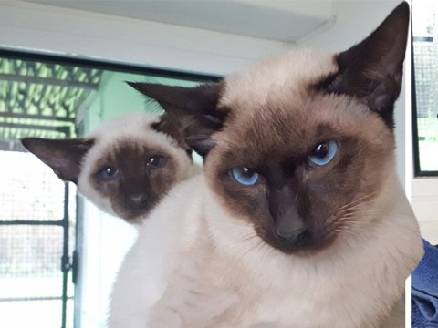 'Animal hoarder' kept over 50 Siamese cats in one house