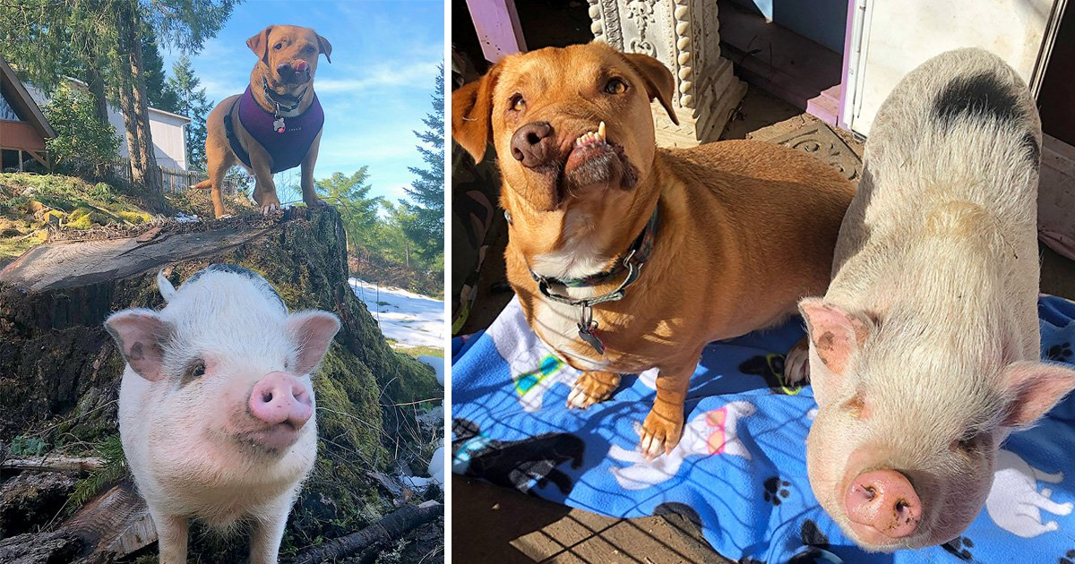 A pig and a wonky-faced dog are the most adorable best friends